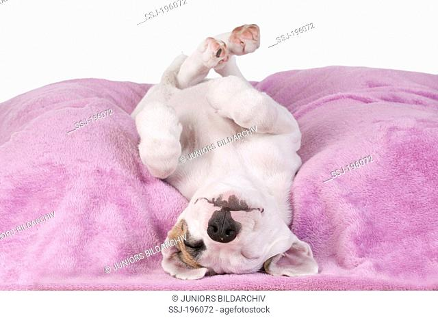 Mixed breed dog (Boxer x ?) Puppy sleeping completly relaxed on a purple blanket Germany