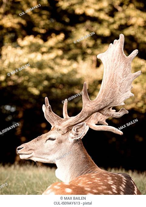 Portrait of deer, side view, Aarhus, Denmark