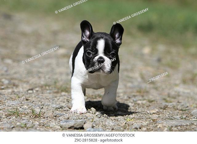 Dog French Bulldog puppy moving