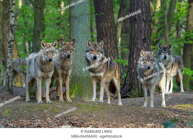 Wolf, Canis Lupus, Group of wolves, Germany, Europe