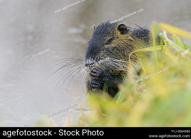 Coypu, Germany, Europe