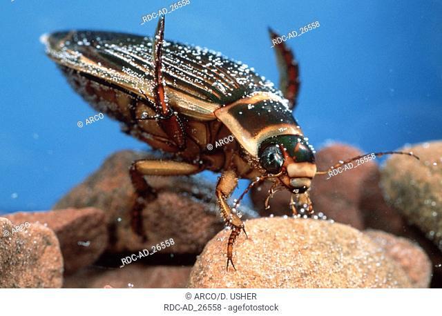 Great Diving Beetle Lower Saxony Germany Dytiscus marginalis