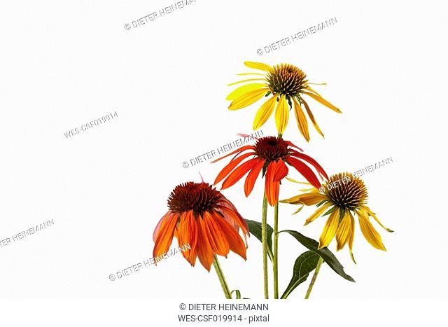 Orange, red and yellow coneflower (Echinacea)