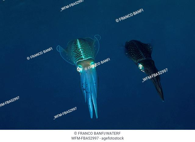 Couple of Bigfin Reef Squid, Sepioteuthis lessoniana, Caribbean, Turks and Caicos Islands