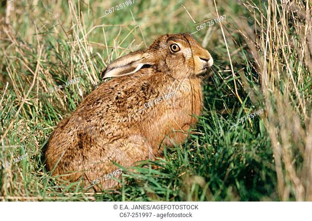 Brown or European Hare (Lepus europaeus), august, England