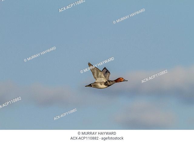 Redhead (Aythya americana) Male and female in flight, Johnson's Island, Alberta, Canada