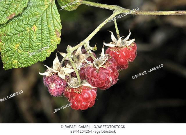Fruits of Raspberry (Rubus idaeus, fam. Rosaceae). Osseja, Languedoc-Roussillon, Pyrenees Orientales, France