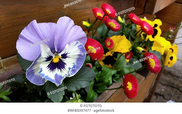 Pansy, Pansy Violet (Viola x wittrockiana, Viola wittrockiana, Viola hybrida), together with English daisies in a flower box, Germany