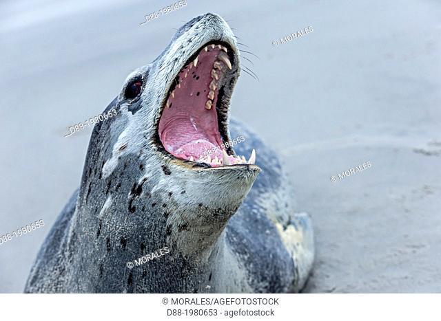 Falkland Islands , Saunders island , Leopard Seal ( Hydrurga leptonyx ) on the beach , mouth open