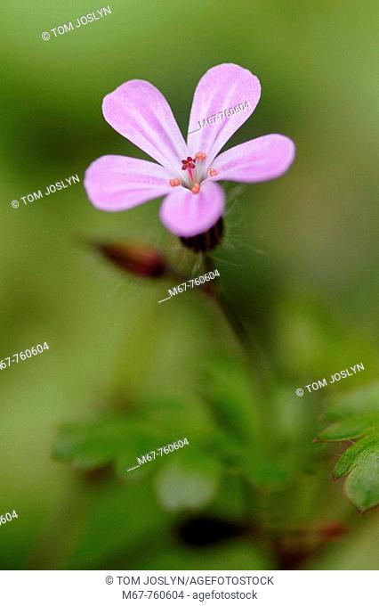 Herb robert flower (Geranium robertianum) close up. England UK