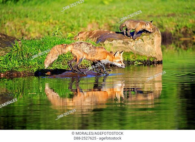 United States, Minnesota, Red Fox Vulpes vulpesadult near by the water