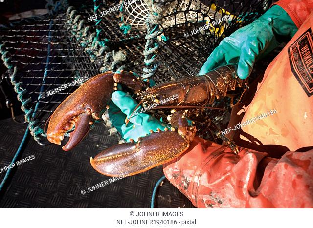 Hands holding lobster, Grundsund, Bohuslan, Sweden