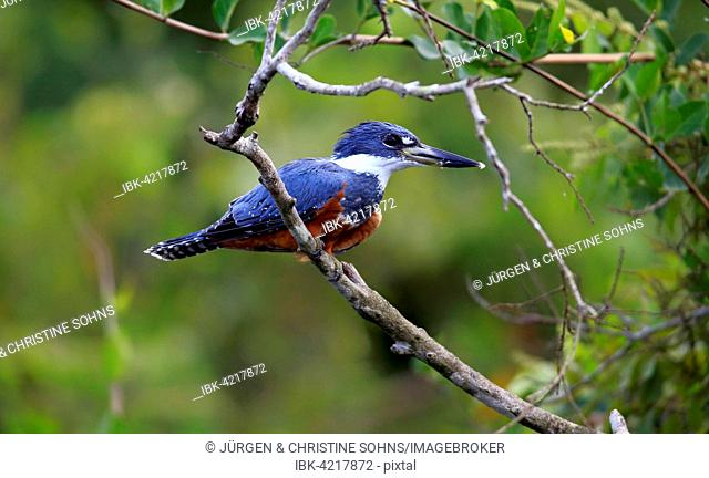 Ringed kingfisher (Ceryle torquata), adult on the lookout, Pantanal, Mato Grosso, Brazil