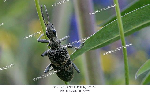 A longhorn beetle is sleeping on a lupine stem. Noraström, Västernorrlands Län, Sweden