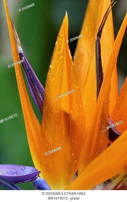 Strelitzia reginae, Crane flower, Bird of Paradise