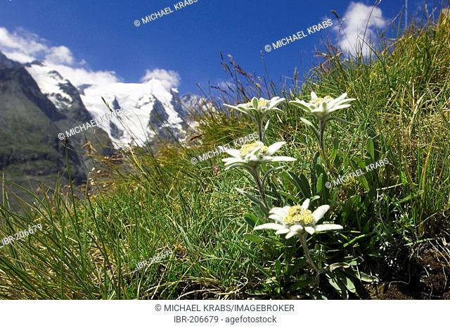 Blooming Edelweiss, National Park Hohe Tauern, Austrian Alps, Austria