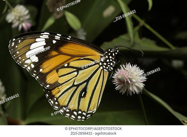 Striped tiger butterfly, Danaus genutia , Aarey Milk Colony , INDIA