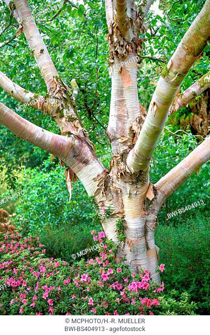 downy birch (Betula utilis var. jacquemontii, Betula jacquemontii), trunk, United Kingdom