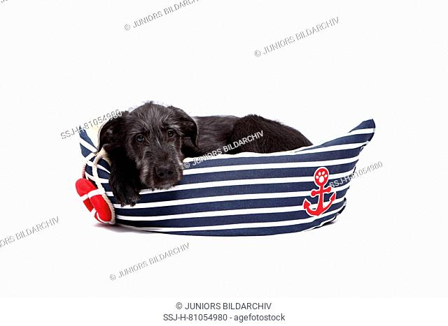 Irish Wolfhound. Puppy (9 weeks old) lying in a pet bed shaped like a boat. Studio picture against a white background. Germany