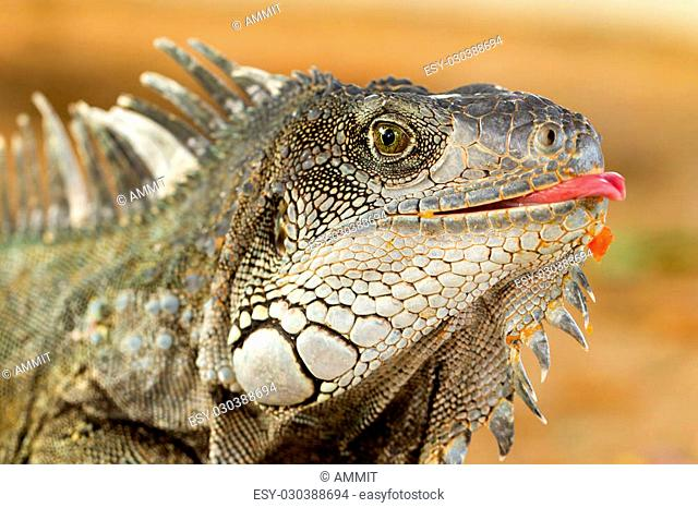 Male Iguana Headshot With Tongue Out