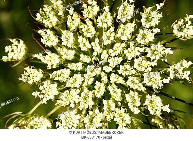 Carrot (Daucus carota) flower