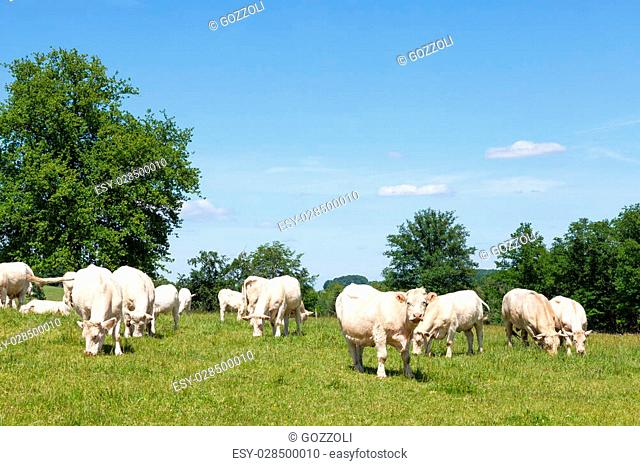 Herd of white Charolais cows,a bull and calves grazing in a lush green spring pasture in sunshine. Bred for their beef