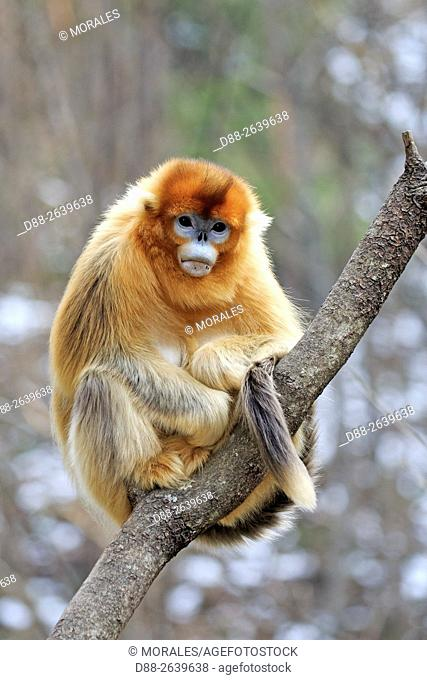 Asia, China, Shaanxi province, Qinling Mountains, Golden Snub-nosed Monkey (Rhinopithecus roxellana),