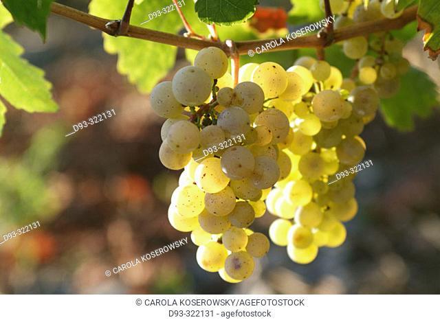 Riesling grapes. Rhineland-Pallatinate. Germany