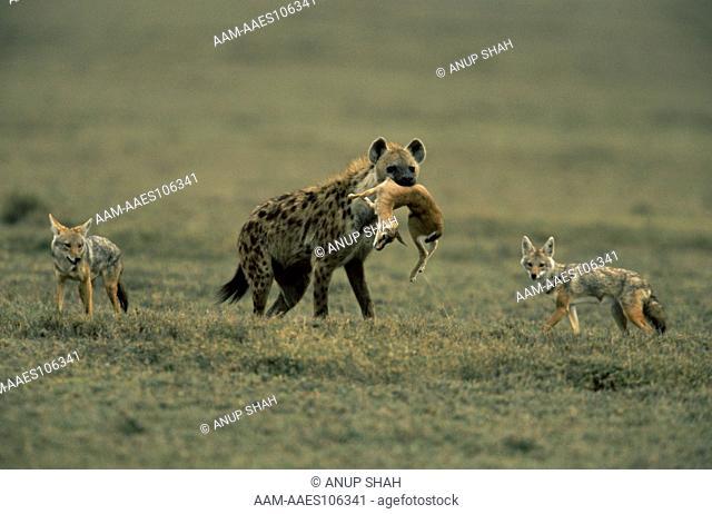 Spotted hyaena (Crocuta crocuta) carrying dead baby Thomson's gazelle (Gazella thomsoni) with Golden jackals (Canis aureus) behind, Ngorongoro conservation area