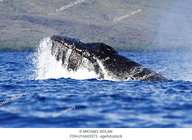 Adult humpback Whale Megaptera novaeangliae head-lunge in competitive group possible mating behaviour in the AuAu Channel, Maui, Hawaii, USA