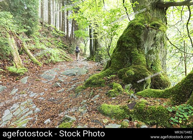 Backpacker hiking in mossy forest of High Fens -EifelNature Park