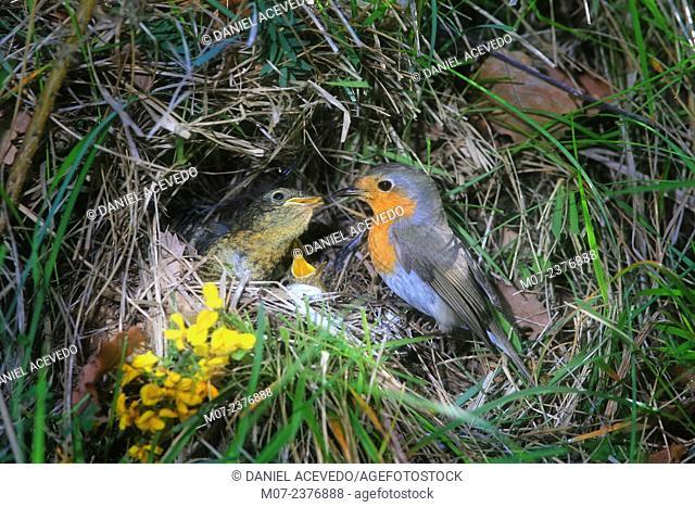 Eropean Robin, Erithacus rubecula fedding young. Iberian mountain range, Spain, Europe