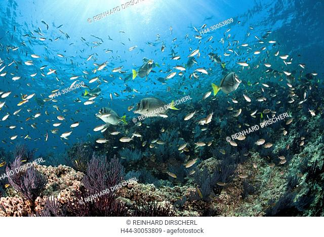 Scissortail Chromis over Coral Reef, Chromis atrilobata, La Paz, Baja California Sur, Mexico