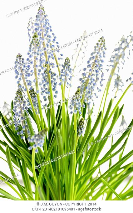 Grape hyacinth blue spring flower potted plant on white background