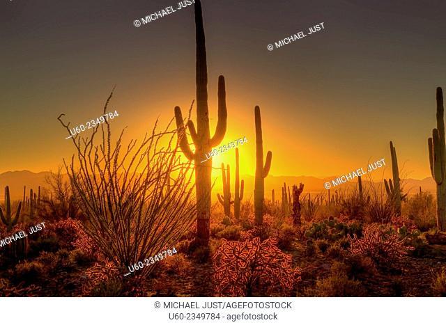 The sun sets amongst the cactus at Saguaro National Park, Arizona. U.S.A