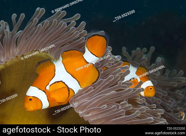 Clown Anemonefish, Amphiprion ocellaris, Kimbe Bay, New Britain, Papua New Guinea