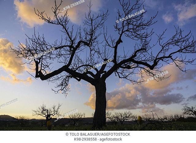 albaricoquero, Prunus armeniaca, Porreres, Mallorca, Balearic Islands, Spain