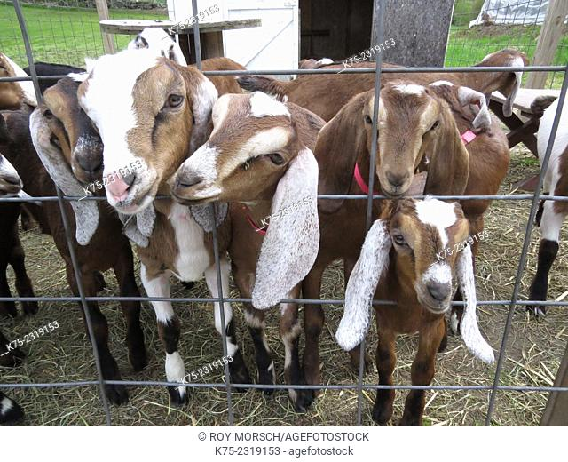 nubian dairy goats