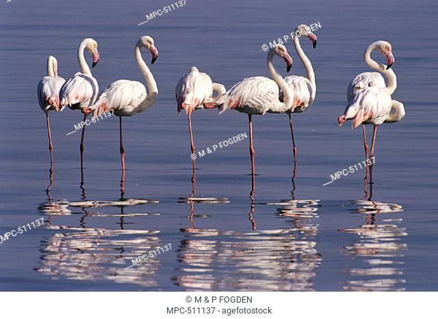 Greater Flamingoes, (Phoenicopterus ruber), Walvis Bay Lagoon, coastal Namibia, Africa