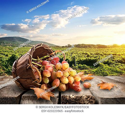 Grapes in a basket and beautiful vineyard
