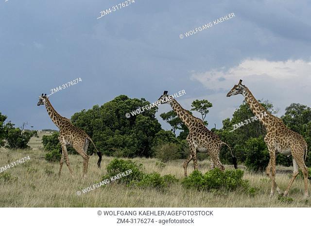 Masai giraffes (Giraffa camelopardalis tippelskirchi) walking in the Masai Mara National Reserve in Kenya