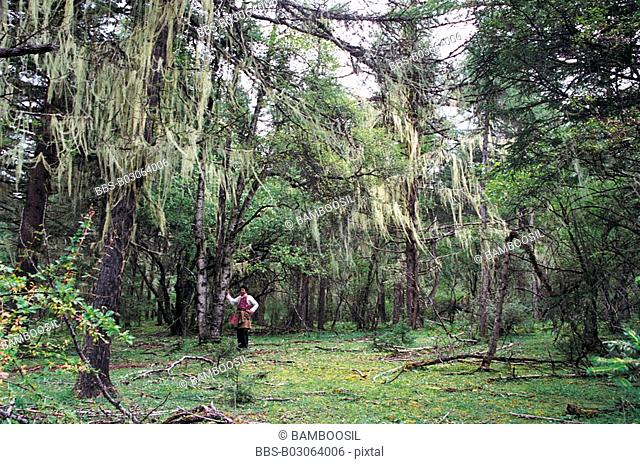Man standing in the dense forest, Yew Forest Surrounding Bita Lake on Plateau , Shangri-la County, Diqing Prefecture, Yunnan Province