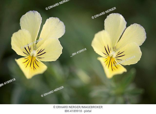 Mountain Pansies (Viola lutea), Vosges, Alsace-Lorraine, France