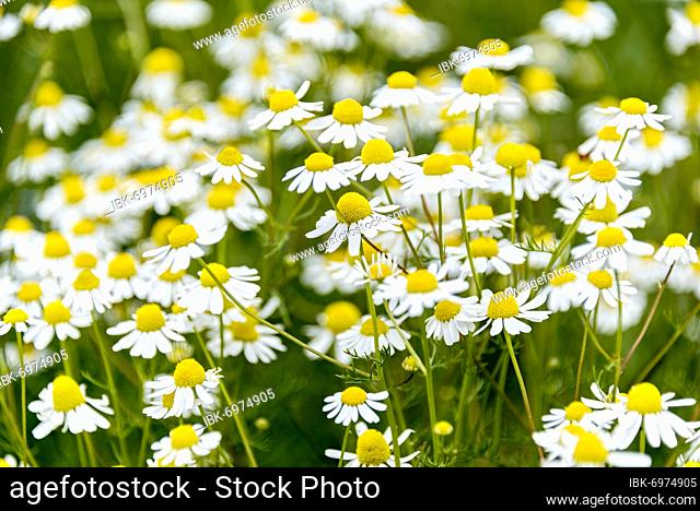 Flowering true camomile (Matricaria chamomilla L.) in wild, natural flower meadow, Germany, Europe
