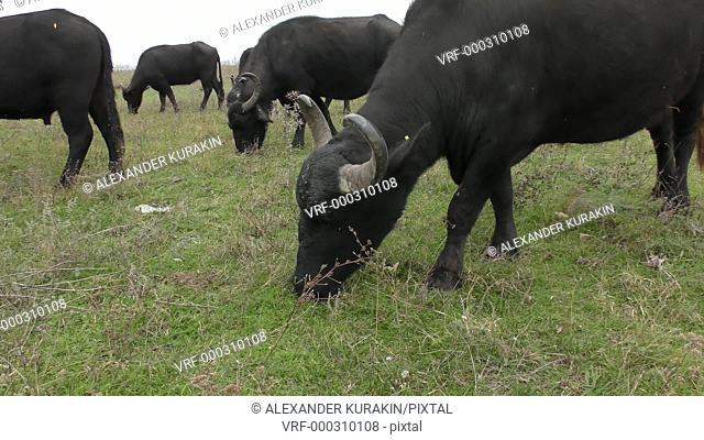 African buffalo or Cape buffalo (Syncerus caffer): rehabilitation in Ukraine