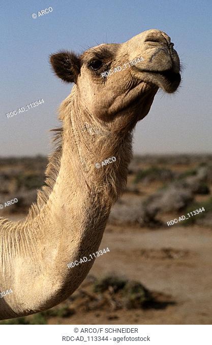 Dromedary Egypt Camelus dromedarius One-humped Camel