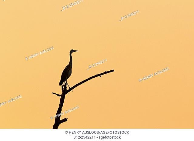 Grey heron (Ardea cinerea) on sunset, Thailand