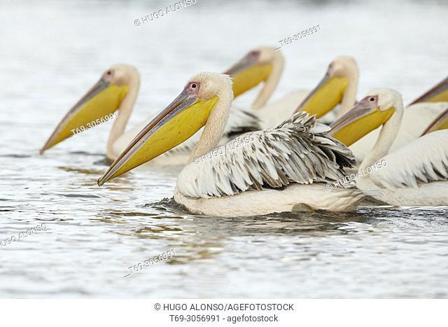 Great White Pelican. Pelecanus onocrotalus. Kenia. Africa