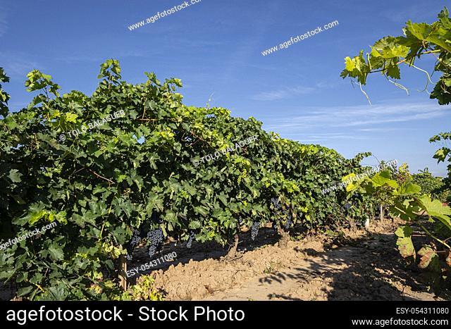 uva madura, Navarrete, La Rioja, Spain