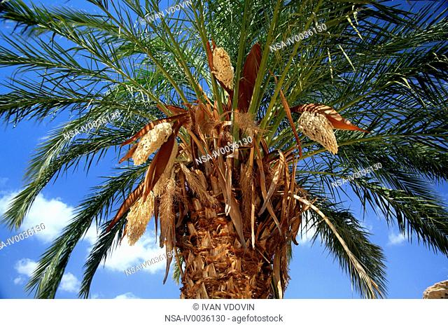 Palm tree, Luxor West bank, Egypt